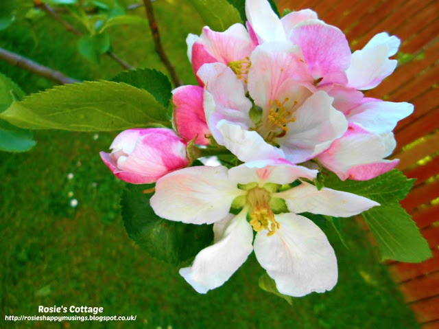 Being blessed by our garden: We've been treated to so much apple blossom on our little apple tree this year...