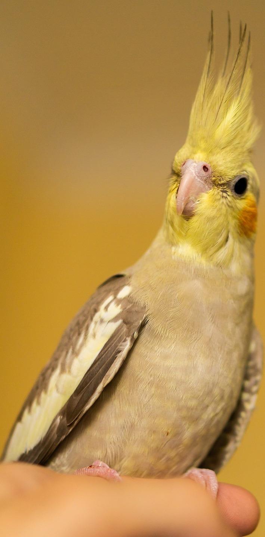 Holding a cockatiel bird.