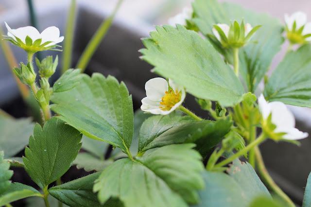 Balcon - Plants fraises Reine des vallées