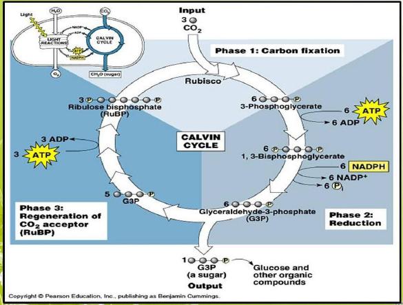 Reaksi gelap disebut juga siklus calvin