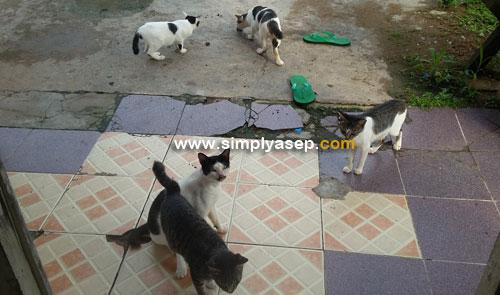 KUMPUL : Inilah kucing kucing dari entah berantah sering kumpul di depan rumah saya menunggu jatah ikan kembungnya.  Foto diambil hari Senin (12/3) pukul 07.40 WIB.  Foto Asep Haryono