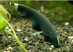 Cara Memelihara Dan Budidaya Ikan Black Ghost