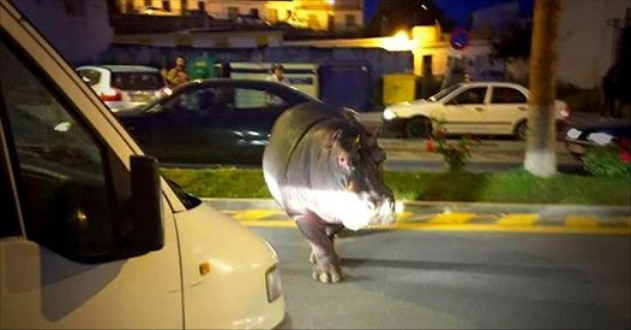 Hippo Runs Away From Circus For A Brief Taste Of Freedom
