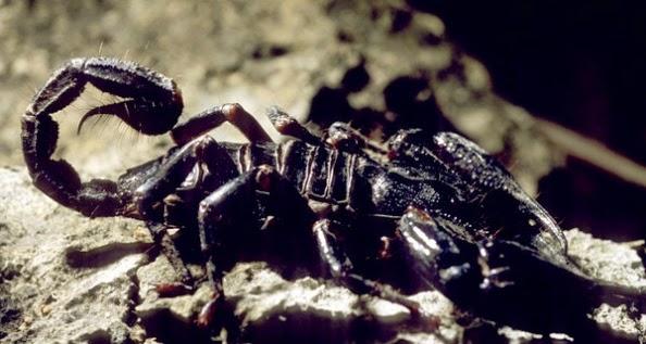 Escorpiones en biologia