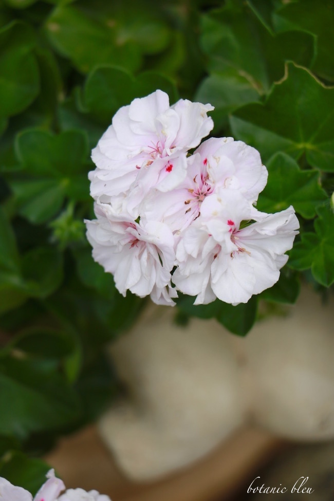 white-geranium-with-pink-center-rose-flecks