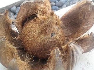 mature coconut fruit dehusked