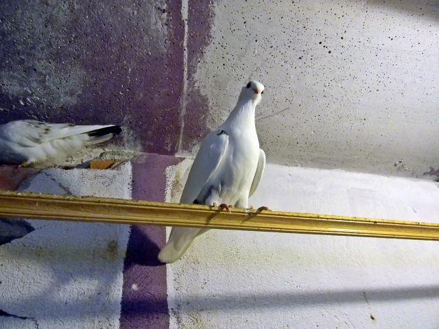 ptaki hodowlane, gołębnik