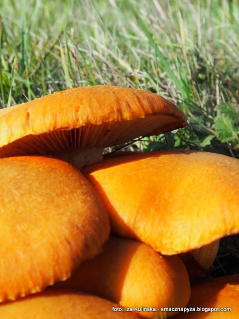 owocnik, lysak wspanialy, jaki to grzyb, atlas grzybow, grzybobranie, owocniki, powierzchnia