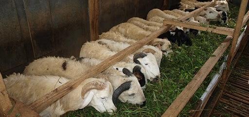 Tips Membuat Pakan Fermentasi Ternak Domba