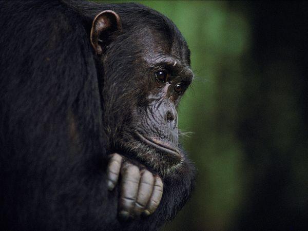 Gombe Chimpanzee