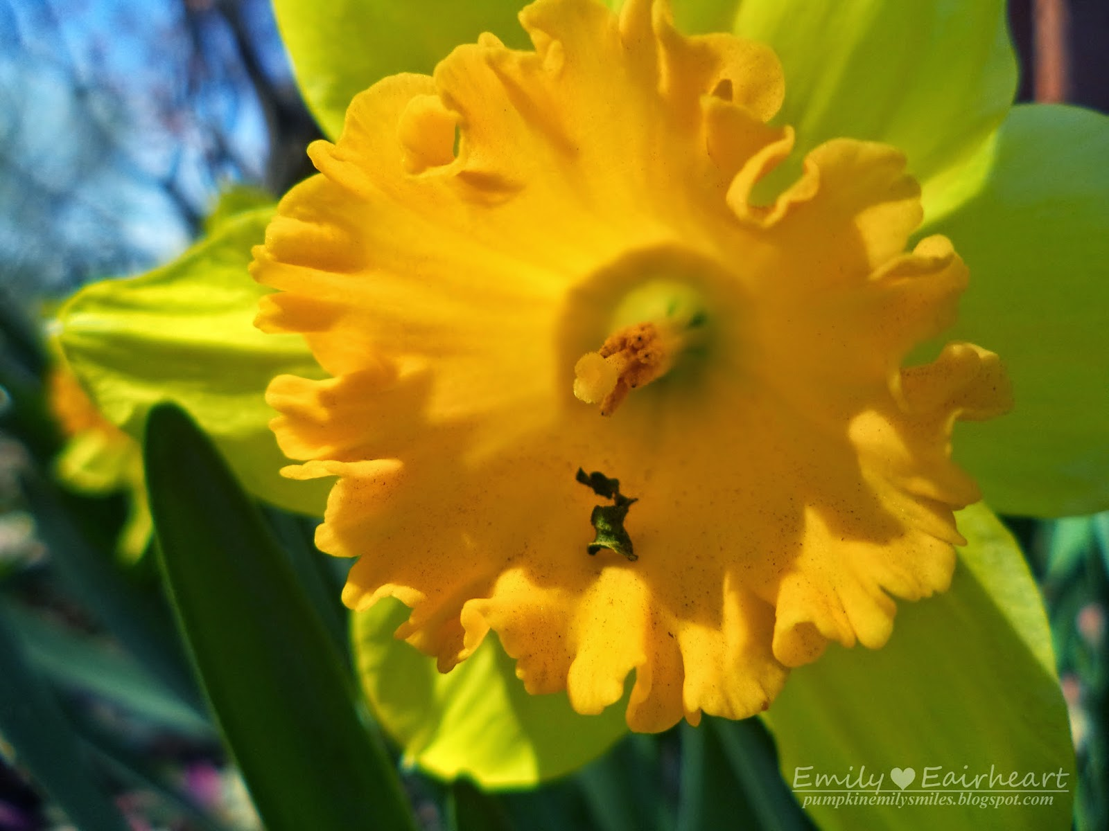 A tiny leaf stuck in a Daffodil.