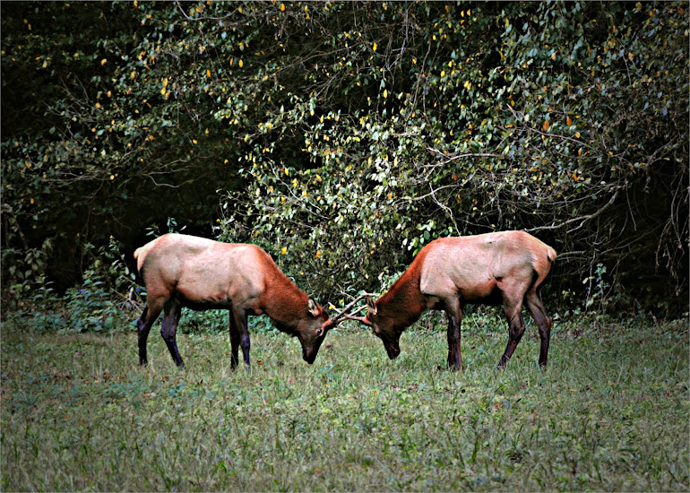 Elk Dancing - Great Smoky Mountains