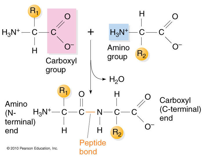 relationship between enzymes and dehydration synthesis hydrolysis