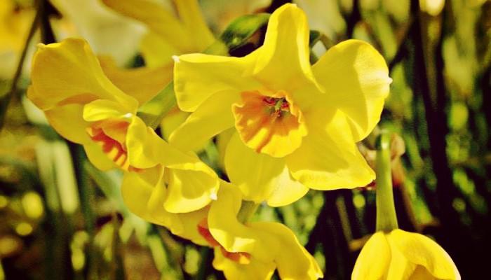Narciso enano planta