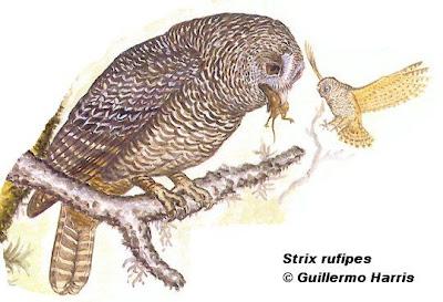 Lechuza bataraz austral Strix rufipes