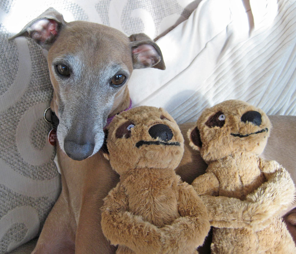 Good Dogs For Apartments: Everything About Your Italian Greyhound