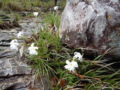 Chapada dos Veadeiros - Flores do Cerrado