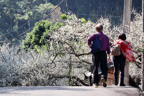 新社梅花隧道、小木屋鮭魚葡萄、梅花森林,台中賞梅花好去處