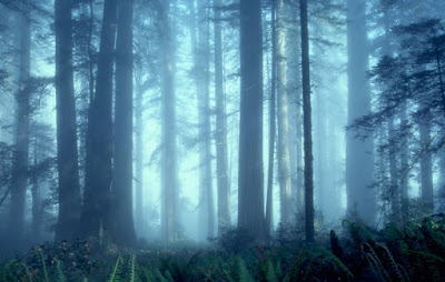 Redwood National Park,Lady Bird Johnson Grove,redwoods,forest,fog,blue,ferns