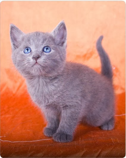 Purebred Russian Blue Kittens For Sale Near Me : purebred, russian, kittens, Purebred, Russian, Kharita