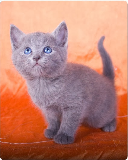 How Much Does A Russian Blue Kitten Cost?
