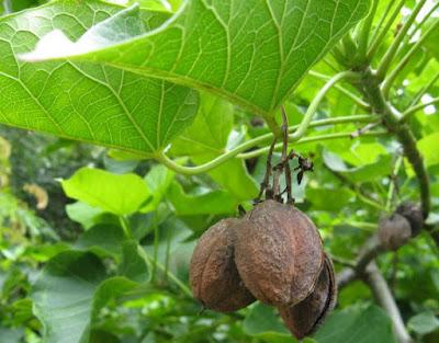 Buah yg satu ini mungkin bagi anda tidak familiar Manfaat buah kluwek