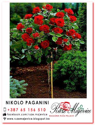 Crvena stablašica Nikolo Paganini