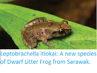 http://sciencythoughts.blogspot.co.uk/2016/08/leptobrachella-itiokai-new-species-of.html