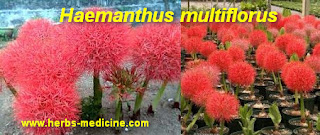 Burns use Haemanthus multiflorus