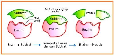 kerja enzim