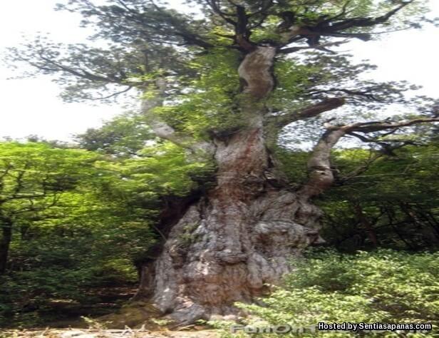 Yakusugi Cedar