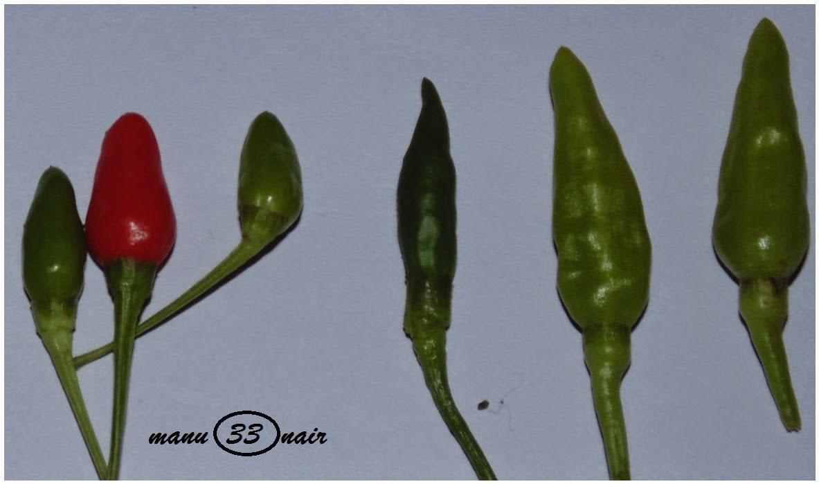 papanasini: KANTHARI MULAKU (Capsicum frutescences)