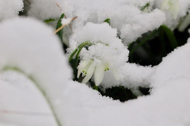 Snow drops Lady Beatrix Stanley in snow.