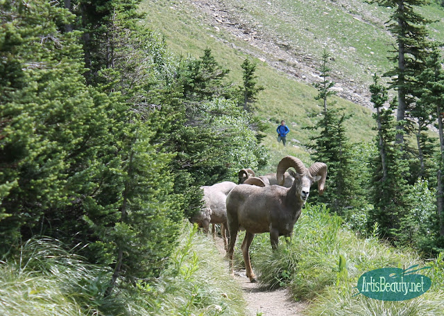 big horn sheep glacier national park montana family hiking trip summer vacation kids wanderlust wildlife nature outdoors