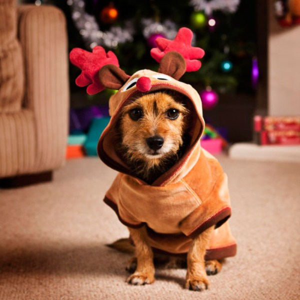 Dog in costume Christmas deer.