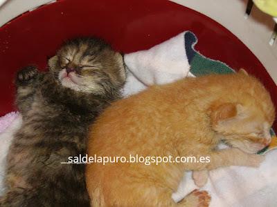 criar-gatos-sin-madre