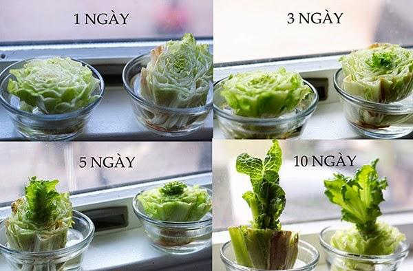 Xà lách Cách trồng rau sạch tại nhà