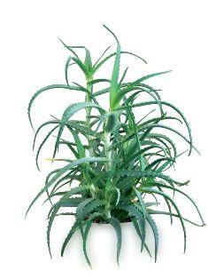 Aloes - Aloe Vera - Aloes doniczkowy