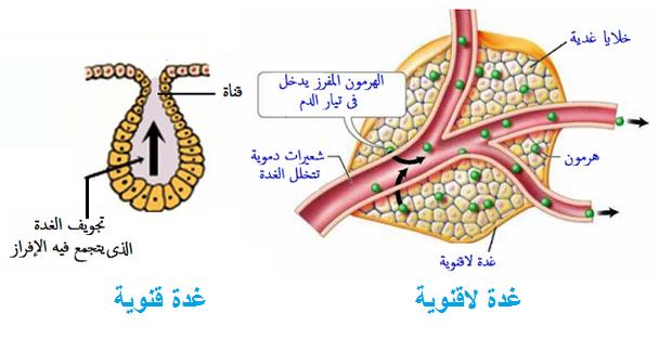 أنواع الغدد فى جسم الإنسان