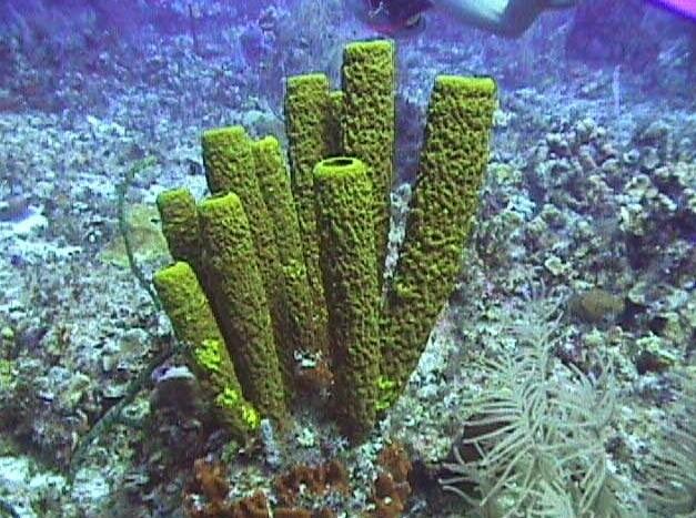 Klasifikasi Porifera Berdasarkan Kelasnya Belajar Yukk
