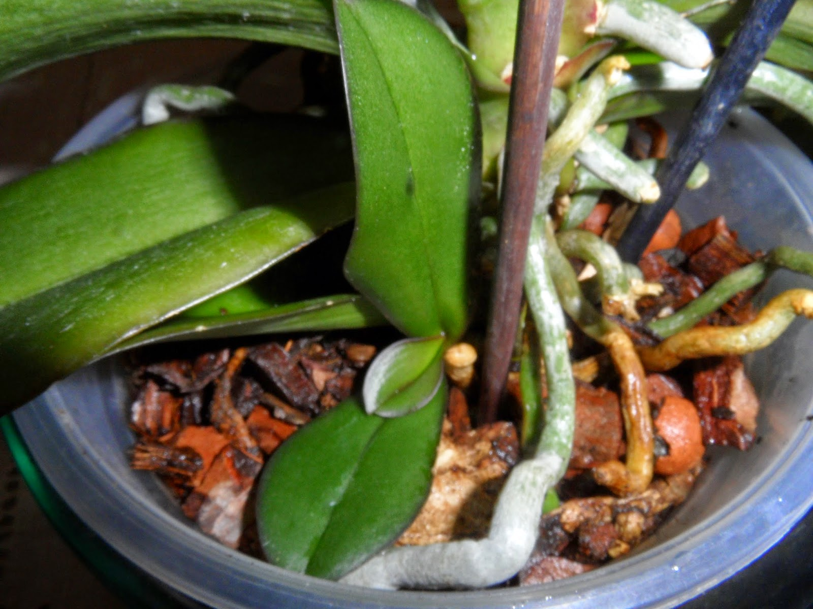 Las orquídeas de Berni