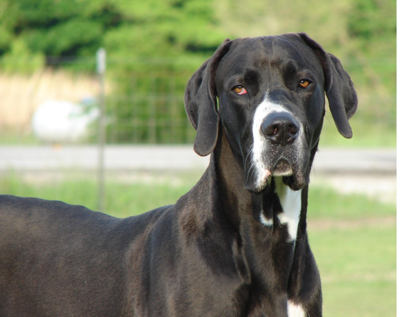 Saved by dogs: Look out Reindeer, if Great Danes learn to ...