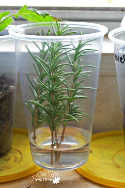 "Cut 3-5"" lengths of rosemary and place in water to root."