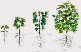 Pertumbuhan Tumbuhan