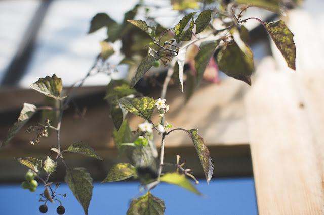 wonderberry flower