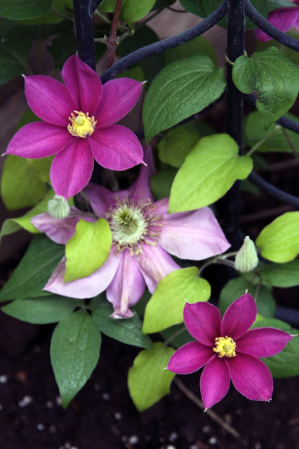 clematis, Aliana Clematis, flowers, spring, pink flowers, Anne Butera, My Giant Strawberry
