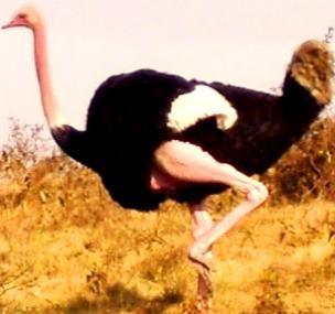 Foto de Avestruz de perrfil - Animal con A