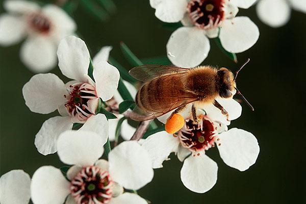 زهرة عسل المانوكا