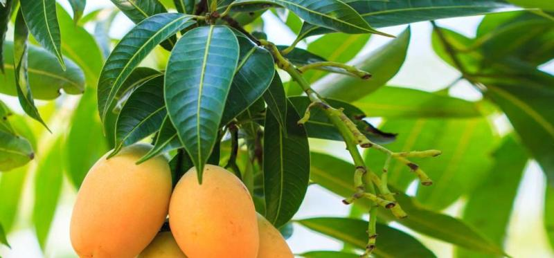 Buah Mangga, Yoghurt dan Kuning Telur untuk Rambut Rontok