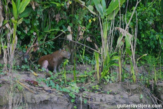 Ronsoco o capibara - Tambopata